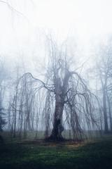 Verzauberte Weide (Gruenewiese86) Tags: harz nebel wald wernigerode canon6d fog tree trees 35mm 6d