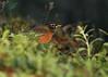 American Robin (Turdus migratorius) (Mary Keim) Tags: taxonomy:binomial=turdusmigratorius centralflorida marykeim orlandowetlandspark
