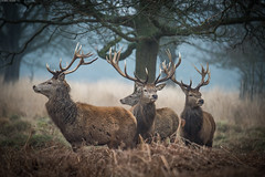 We're staying here . You can all Feck Off (Alan Habbick Photography.) Tags: reddeer stags richmondpark
