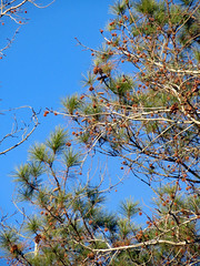 Pine Branches And Blue Sky. (dccradio) Tags: lumberton nc northcarolina robesoncounty outdoors outside tree trees branches treebranches treelimbs sky skies morningsky goodmorning morning bluesky nature natural beauty godshandiwork pods seedpods pine pinetree pinebranch winter january canon powershot elph 520hs