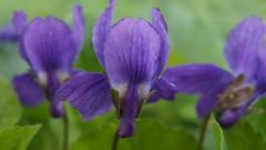 Elles seront bientôt là !!!! - in explore le 19/01/18 (passionpapillon) Tags: macro fleur flower violettes printemps passionpapillon 2018