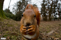 red squirrel @ Leipzig, 2018 (Jan Rillich) Tags: eichhörnchen sciurus vulgaris red squirrel clarazetkin park leipzig 2018 eurasian european rot urban nature ardillaroja ardilla roja jan rillich janrillich picture photo photography foto fotografie eos digital wildlife animal beautiful beauty sunny sun fauna flora free animalphotography winter snow cold greattit kohlmeise parusmajor clarazetkinpark germany canon canon5d auwald auenwald aue image 5dmarkiii 5d 15mm sigma15mm fisheye fischauge funny lustig