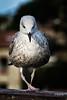 Gaviota. Cudillero (Masuar13) Tags: cudillero gaviota aves pueblosdeasturias