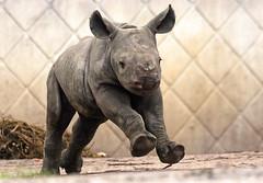black rhino Blijdorp BB2A2207 (j.a.kok) Tags: rhino rhinoceros zwarteneushoorn blackrhinoceros neushoorn puntlipneushoorn africa afrika herbivore animal mammal zoogdier dier babyneushoorn babyrhino blijdorp