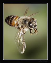 _DSC0394-404_R1-AFP1_C1-LR (Mark L 2010) Tags: honeybee bee insect backyard backyardphoto katy katytexas macro 105mmf28 focusstacking