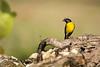 Sucrier à ventre jaune (Adeline Brissaud) Tags: bird guadeloupe west indies sucrier ventre jaune antilles oiseau