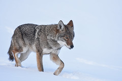 Eastern Coyote (aj4095) Tags: coyote nature wildlife outdoor animal snow winter
