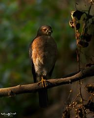 Shikra (mathewindelhi) Tags: shikra bird raptor hawk delhi india nature wild wildlife nikon