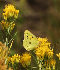 Orange Sulphur Butterfly, on what I think is rabbit brush. (Ruby 2417) Tags: yellow denver colorado butterfly sulphur insect nature wildlife fall autumn