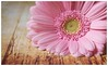 In bloom (tina777) Tags: bloom gerbera flower flora floral bud petal pink stamen still life tabletop studio wood backdrop plant nature wales photoshop elements ononesoftware fujifilmxt10