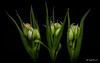Three tulips? (Magda Banach) Tags: canon canon80d sigma150mmf28apomacrodghsm blackbackground buds colors flora flower green nature plants tulip