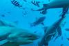 7 cruising' bulls || Beqa Lagoon (David Marriott - Sydney) Tags: pacificharbour centraldivision fiji fj bull shark beqa lagoon scuba diving adventure ikelite