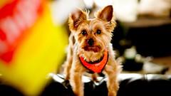 Treats time (rreyespt) Tags: cute chips yorkie dog