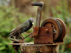 starling on rusty tool (Simon Dell Photography) Tags: starling nature wildlife bird garden sheffield uk england british winter autumn spring wild area action dark simon dell photography