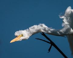 Great Egret (barnmandb65) Tags: great egret white scratch itch legs closup