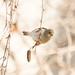 DSC_3427.jpg American Goldfinch, Bethany Curve