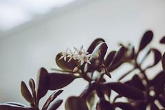 Flowers (TessAnjel) Tags: fleur flower plante nature photography picture photo canon eos 7d mark ii objectif lens 50mm 18