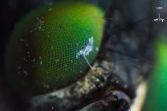 Fly Eye (yonatancruz) Tags: fly mosca nature eye ojo insect insectos fotografía photography photo animals animales naturaleza green verde natualworld natural macro macrofotografia ngc