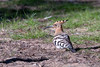 Huppe fasciée (gilbert.calatayud) Tags: bucérotiformes eurasianhoopoe huppefasciée upupaepops upupidés bird oiseau el acebuche parc national de donana espagne andalousie