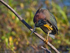 Itchy (Doug Scobel) Tags: green heron butorides virescens circlebbar reserve