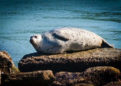 Harbor Seal Sunning, at Whalers Cove, Point Lobos, CA  (1)_ (Charlie Day DaytimeStudios) Tags: californiasateparks carmelca coastline landscape montereyca ocean on pacificcoast pointlobos rocks seascape sky water