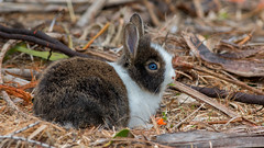 Lapin, Crandon Park, Floride (2) (boisvertvert1) Tags: rabbit lapin crandonpark keybiscayne michelboisvert 2018 usa floride florida canon canon70d canoneos70d
