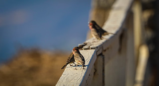 House Finches sit on a Happy Fence Pacific Palisades California 012
