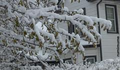 A Canadian Winter. (rumimume) Tags: potd rumimume 2018 niagara ontario canada photo canon 80d snow winter powder outdoor storm snowfall accumulation