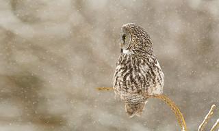 Look Away Great Grey Owl (Strix nebulosa)-