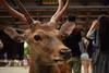 東大寺 南大門 - Nandaimon Gate (Hachimaki123) Tags: 日本 japan nara 奈良 鹿 動物 animal deer ciervo cervusnippon 東大寺 南大門 東大寺南大門 nandaimongate tōdaiji