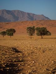 Desert trees (Melvinia_) Tags: olympusomdem1 namibia namibie desert désert namibrand naukluft namibrandfamilyhideout landscape sand africa afrique afriqueaustrale geoafrica