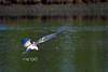 Tern on the prowl... (A. K. Hombre) Tags: whiskeredtern bird aves animal chlidoniashybrida chlidoniashybridus flight fly water prowl wings dumangas iloilo travel vacation dof depthoffield spread glide