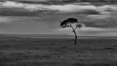 Solitair tree in Masai Mara National Reserve (gerard eder) Tags: world travel reise viajes africa kenya masaimara safari tree eastafrica easternafrica nationalgamereserve blackandwhite blackwhite blancoynegro bw sw monochrome clouds wolken nubes landscape landschaft natur nature naturaleza naturschutzgebiet nationalpark outdoor countryside nationalreserve minimalismn