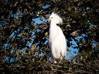 Perched Snowy Egret