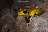 Litoria wilcoxii (Stoney Creek Frog) (lorenzobertola) Tags: litoriawilcoxii litoria hylidae treefrog eungellanp finchhattongorge frog amphibian