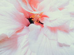 (Andrei Grigorev) Tags: hibiscus petals botanical macro abstract art vsco photography blossom pastel