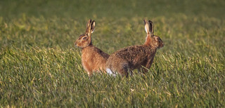 Brown Hares.