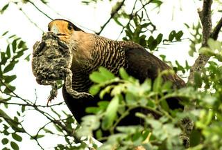 carcará (Caracara plancus)