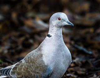 Collared Dove close up.
