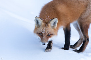Happy Fox Friday! HFF