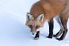 Happy Fox Friday! HFF (NicoleW0000) Tags: redfox wild animal wildlife carnivore predator outdoor winter snow wildlifephotography canoneos