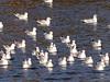Lachmöwen auf der Ruhr (Christa_P) Tags: animals tiere birds vögel gull möwe nature fauna wasser water river fluss mülheimanderruhr germany