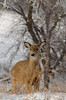 Whitetail (janelle.streed) Tags: whitetail deer whitetaileddeer whitetailed wildlife animal mammal nature outdoors minnesota photography 2017 rut