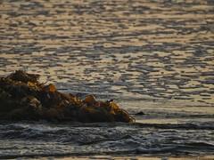 At the surfline. (isaacullah) Tags: kelp seaweed surf waves beach water light sand shining