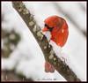 Do Birds Drink Snow ? Proof Positive (Darrell Duke) Tags: cardinal backyardbirds birdsinsnow