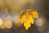 Feuille (catherinef35) Tags: feuille leaf automne autumn jaune yellow