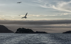 evening flight (David Feuerhelm) Tags: nikkor waterscape serene light doubtfulsound fiordland newzealand gull birds nikon d750 2470mmf28