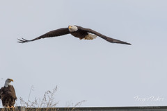 Female Bald Eagle launches into the air