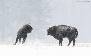 European Bison (7)