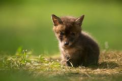 Friday fox cub (- Alex Witt -) Tags: